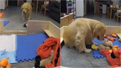 Câmeras de segurança registram golden retriever buscando brinquedo para acalmar os seus filhotes que estavam chorando. (Foto: Reprodução/JMYami)