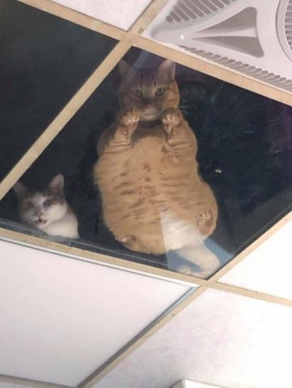 Os gatinhos adoram observar o que se passa na loja. (Foto: Twitter/ @SCMcrocodile)