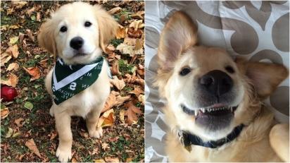Golden retriever começa a usar aparelho e seu novo sorriso 'metálico' conquista web. (Foto: Molly Moore)