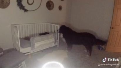 Todas as noites a cachorrinha vai no quarto de sua irmã conferir se está tudo bem. (Foto: Reprodução TikTok/@christinejomiller)