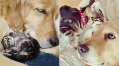 Golden Retriever adota gatinha órfã rejeitada pela própria mãe biológica. (Foto: Instagram/shimejiwasabi)