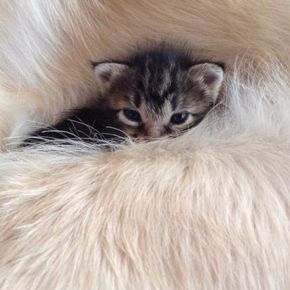 O golden retiver se apaixonou pela gatinha. (Foto: Instagram/shimejiwasabi)