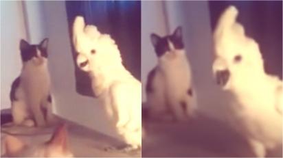 Em vídeo hilário, cacatua imita miado e confunde gatos. (Foto: Reprodução Youtube/ DailyPicksandFlicks)