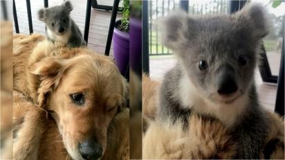 Golden retriever aparece em casa com filhote de coala recém-resgatado montado nela. (Foto: Arquivo Pessoal/Kerry McKinnon)