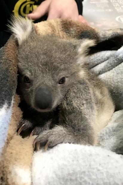 Kerry e seu marido envolveram o Joey em um cobertor antes de levá-lo para o veterinário e depois encaminhado para um santuário da vida selvagem. (Foto: Arquivo Pessoal/Kerry McKinnon)