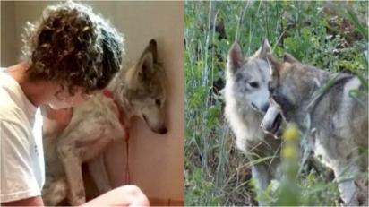 Cão-lobo resgatado que se isolava no canto do canil fica feliz depois de ser unido com fêmea. (Foto: W.O.L.F. Sanctuary)