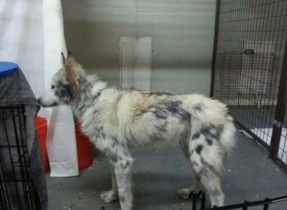 O cão-lobo foi encontrado gravemente desnutrido, deprimido e infestado de carrapatos. (Foto: W.O.L.F. Sanctuary)