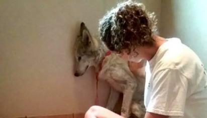 O cão assustado sempre se encolhia quando ia receber um carinho. (Foto: W.O.L.F. Sanctuary)
