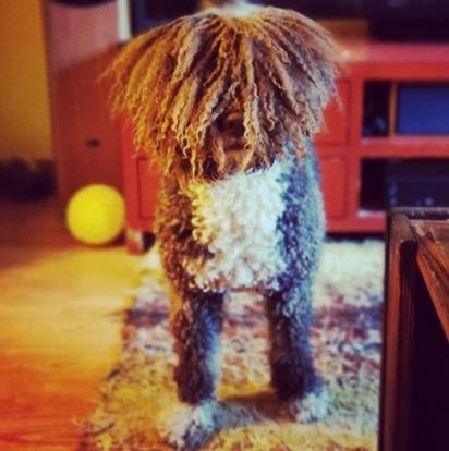 Dog Marley. (Foto: Instagram/riccikoira)
