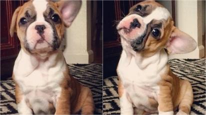 Cachorrinho que acabou de aprender o nome dele e ouviu o dono chamá-lo. (Foto: Instagram/sadierae_the_frenchie)