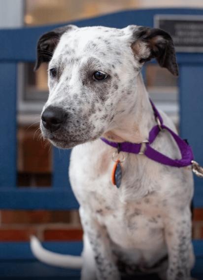 O filhote foi abandonado no dia 1° de outubro e devolvido no dia 28 de outubro, após teste identificar que ele tem mistura de pit bull. (Foto: Facebook/Home for Good Dog Rescue)