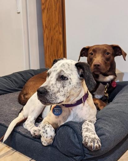 Enquanto Dinki aguarda por um novo lar, ele fez amizade com Savannah, um adorável labrador chocolate. (Foto: Facebook/Home for Good Dog Rescue)