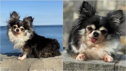 Chihuahua com história de superação é eleita como cão do ano por ajudar outros cães a se sentirem confiantes com suas diferenças físicas. (Foto: Divulgação/American Humane)