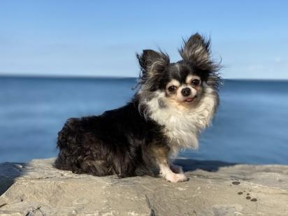 A cachorrinha MacKenzie é responsável por ajudar animais resgatados com problemas físicos e emocionais a se recuperarem. (Foto: Divulgação/American Humane)