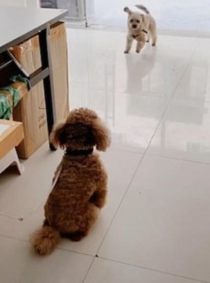 O poodle senta e fica observando seu amiguinho serelepe na porta. (Foto: TikTok/ Douyin Xm5120)