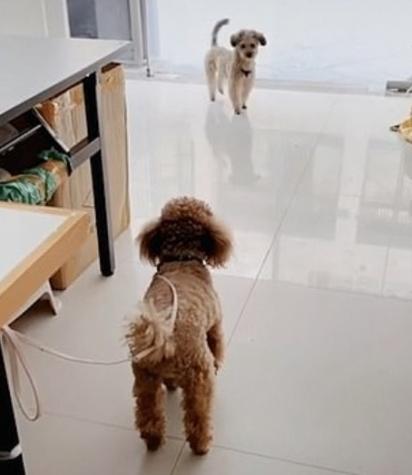 O cachorrinho entra na loja para chamar o seu amiguinho para brincar. (Foto: TikTok/Douyin Xm5120)