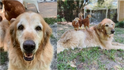 Amizade entre golden retriever e trio de galinhas conquista internet. (Foto: Facebook/Mackin Wall)