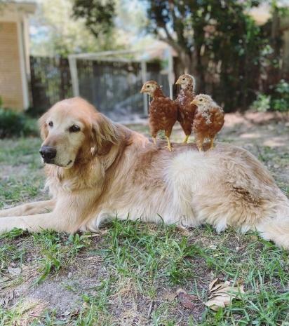 O golden retriever não se importa com a presença das galinhas. (Foto: Facebook/Mackin Wall)
