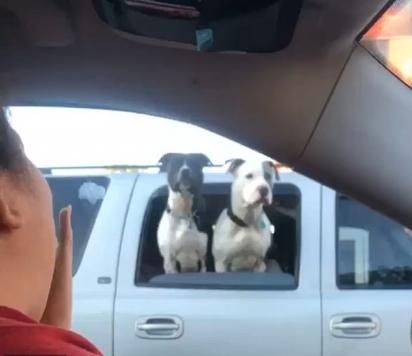 Mulher se encanta por dois cachorros que estavam com a cabeça para fora da janela do carro na sinaleira fechada. (Foto: Reprodução/ViralHog.com)