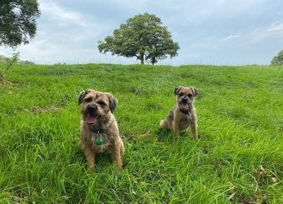 Os cães da raça border terriers que correram atrás do entregador. (Foto: Arquivo Pessoal/Katy Ringsdore)