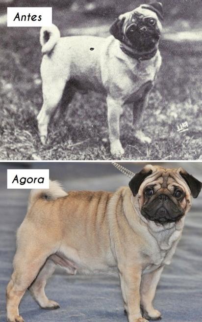 Cão da raça Pug. (Foto: Wikipedia Commons)