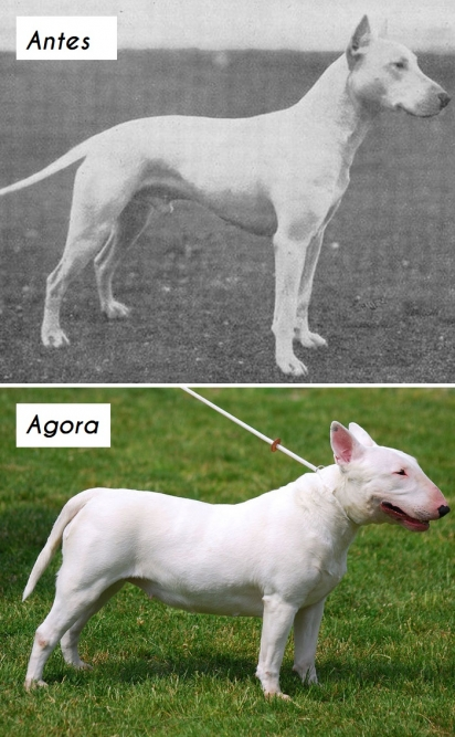 Cão da raça Bull Terrier. (Foto: dogsofallnations)