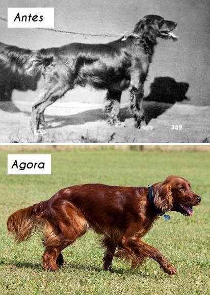 Cão da raça Setter irlandês. (Foto: Wikipedia commons)