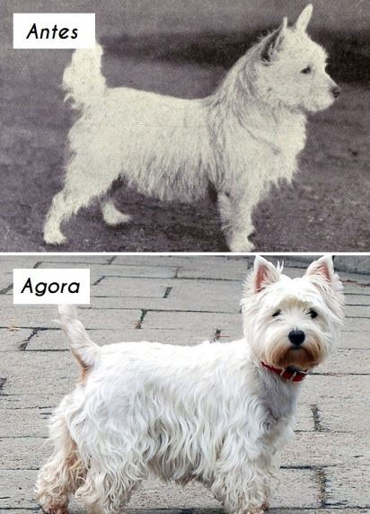 Cão da raça West Highland white terrier. (Foto: dogsofallnations)