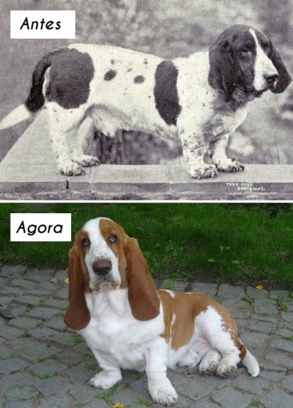 Cão da raça Basset Hound. (Foto: dogsofallnations)