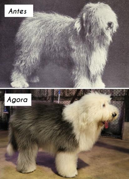 Cão da raça Old English sheepdog (bobtail ou ovelheiro-inglês). (Foto: dogsofallnations)