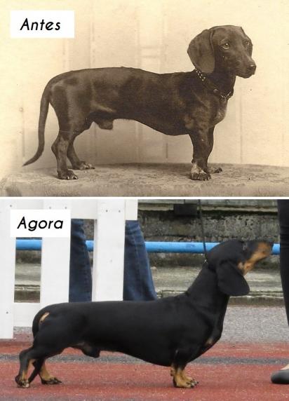 Cão da raça Dachshund (teckel ou salsicha). (Foto: homedesignfordogs)