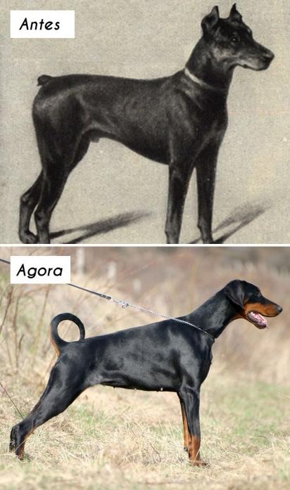 Cão da raça Dobermann. (Foto: homedesignfordogs)