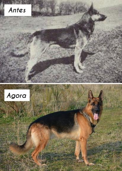 Cão da raça Pastor-alemão. (Foto: Wikipedia commons)