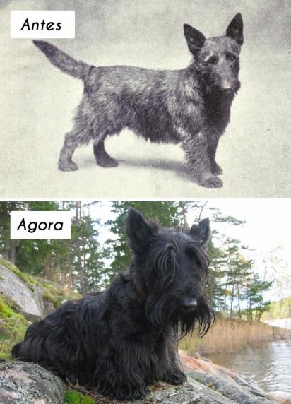 Cão da raça Terrier escocês. (Foto: dogsofallnations)