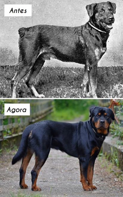 Cão da raça Rottweiler. (Foto: Wikipedia Commons)