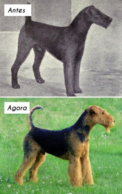 Cão da raça Airedale Terrier. (Foto: unknown)
