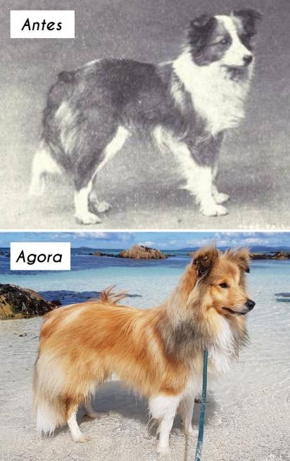 Cão da raça Pastor-de-shetland. (Foto: unknown)