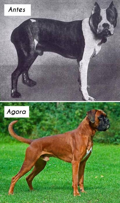 Cão da raça Boxer. (Foto: dogsofallnations)