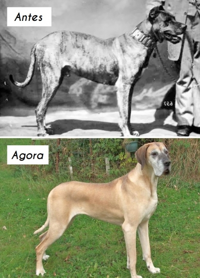 Cão da raça Dogue alemão ou grande dinarmaquês. (Foto: unknown)