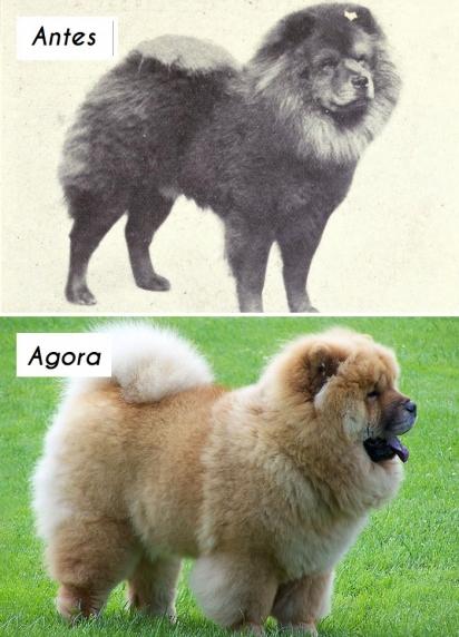 Cão da raça Chow-Chow. (Foto: dogsofallnations)