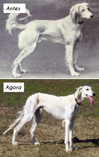 Cão da raça Saluki. (Foto: unknown)