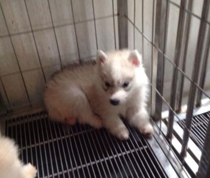 Husky siberiano nasceu com um problema crônico na região dos quadris. (Foto: Instagram/maya_siberian)