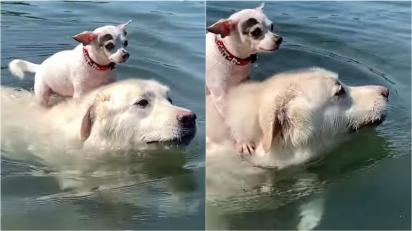 Chihuahua que não sabe nadar pega carona em Pireneu durante travessia de lago. (Foto: Reprodução/ViralHog)