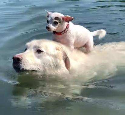 Tim, o chihuahua, não sabe nadar, por isso sempre pega uma carona nas costas do seu amigo Ben. (Foto: Reprodução/ViralHog)