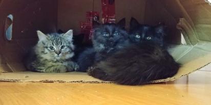 Os gatinhos foram resgatados no exato momento em que mais precisavam de atendimento veterinário. (FOTO: CHATONS ORPHELINS MONTREAL)