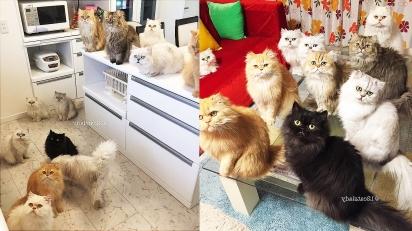 Japonesa cria 12 gatinhos persas em sua casa. (Foto: Instagram/12catslady)