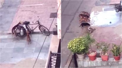 Cães derrubam bicicleta que carregava leite em tentativa de saciar fome. (Foto: Reprodução Youtube / ViralHog)