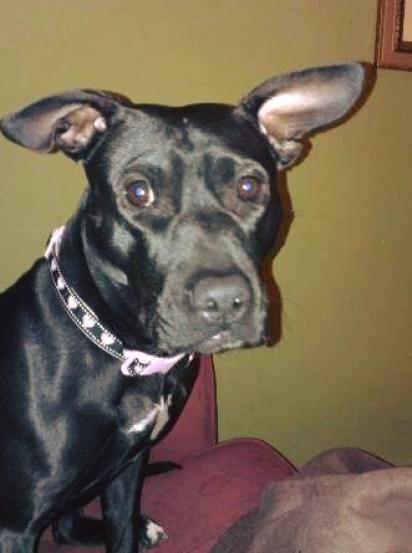 A cachorrinha Rose ficou por meses no abrigo por acreditarem que ela fosse braba de mais. (Foto: Facebook/Justice for Rose)
