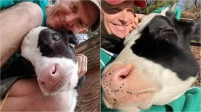 Vaca que seria sacrificada por não produzir leite, é resgatada e agora faz questão de abraçar o seu dono. (Foto: Arquivo Pessoal / Ryan Phillips)