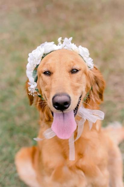 A cadela golden retriever Lily preparada para o ensaio fotográfico. (FOTO: SHAUNA KIELY)